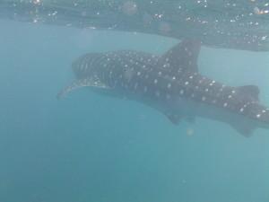 8 Meter Walhai...